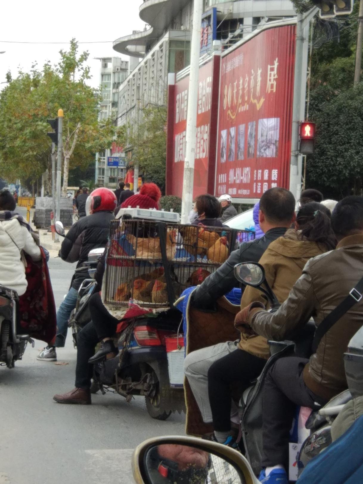 chicken scooter